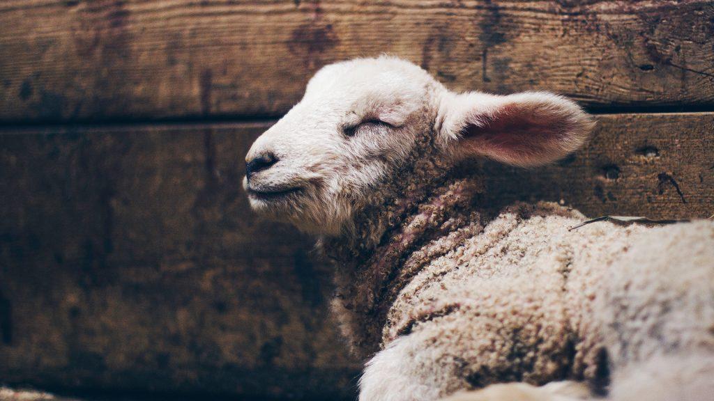 Lamb-Wood